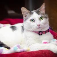 Adopt A Pet :: Misty - Arlington, VA