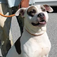 American Pit Bull Terrier/Labrador Retriever Mix Dog for adoption in Kinston, North Carolina - Chance
