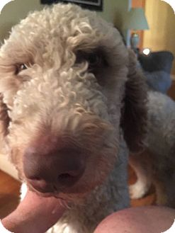 Goldendoodle Mix Dog for adoption in ST LOUIS, Missouri - Thor