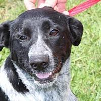 Adopt A Pet :: BLUE WILLOW-URGENT FOSTER NEEDED - Norfolk, VA
