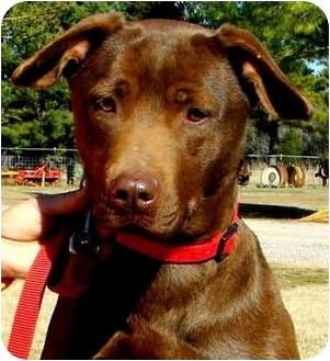 Labrador Retriever Mix Dog for adoption in Pawling, New York - RILEY