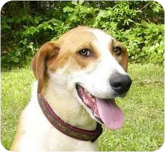Foxhound/Collie Mix Dog for adoption in Mocksville, North Carolina - Lucas