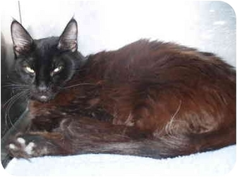 Domestic Mediumhair Cat for adoption in El Cajon, California - Jenny