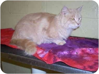 Maine Coon Cat for adoption in Bartlett, Tennessee - Loki