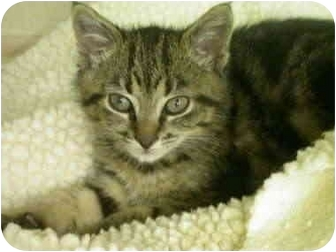 Domestic Shorthair Kitten for adoption in Saanichton, British Columbia - Circle