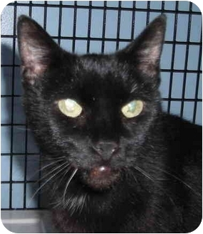 Domestic Shorthair Cat for adoption in Chicago, Illinois - Mildred