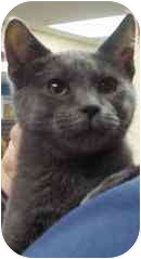 Domestic Shorthair Cat for adoption in Medford, Massachusetts - Stringbean & Peapod