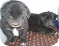 Chow Chow Mix Puppy for adoption in Summersville, West Virginia - Rex & Ruby