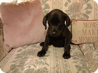 Labrador Retriever Mix Puppy for adoption in Callahan, Florida - Luke