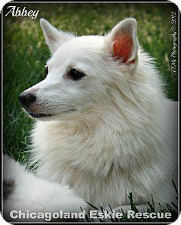 American Eskimo Dog Dog for adoption in Elmhurst, Illinois - Abbey