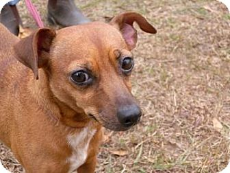 Chihuahua/Miniature Pinscher Mix Dog for adoption in Gainesville, Florida - Posie