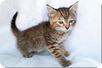 Domestic Shorthair Kitten for adoption in Sullivan, Missouri - Kirby