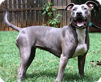 Staffordshire Bull Terrier Mix Dog for adoption in Sunderland, Massachusetts - Jada