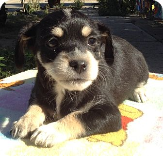 Miniature Pinscher/Jack Russell Terrier Mix Puppy for adoption in Santa Ana, California - Rodney C
