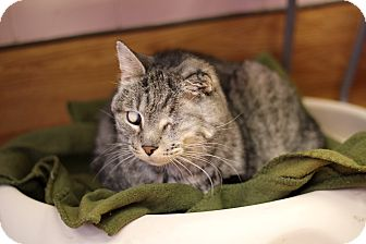 Domestic Shorthair Cat for adoption in Chicago, Illinois - Chief Big Tree