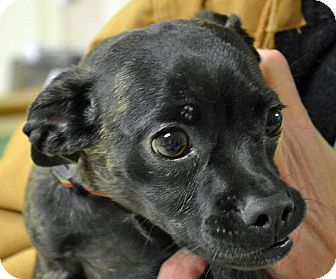Chihuahua/Pug Mix Dog for adoption in Searcy, Arkansas - Blossom