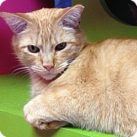 Domestic Shorthair Cat for adoption in Topeka, Kansas - Brad Paisley
