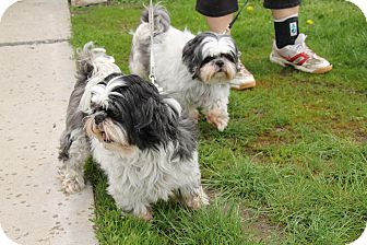 Shih Tzu Mix Dog for adoption in Hibbing, Minnesota - MIEKA