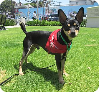Miniature Pinscher Mix Dog for adoption in Los Angeles, California - MANNI