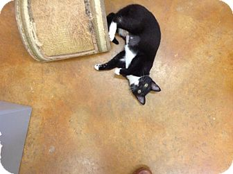 Domestic Shorthair Kitten for adoption in Lake Charles, Louisiana - Baby