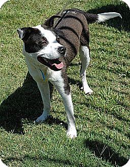 Border Collie/Spaniel (Unknown Type) Mix Dog for adoption in CHAMPAIGN, Illinois - DEACON