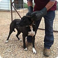 Adopt A Pet :: BELLA - Childress, TX