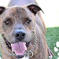 Adopt A Pet :: Diesel (Courtesy Listing) - La Habra, CA