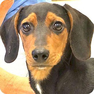 Dachshund Mix Dog for adoption in Sprakers, New York - Sundance