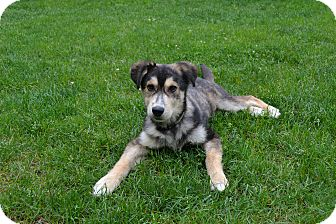 Husky/Shepherd (Unknown Type) Mix Puppy for adoption in West Milford, New Jersey - SARGE-pending