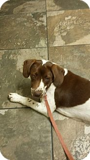 German Shorthaired Pointer Mix Puppy for adoption in Gallatin, Tennessee - Maggie