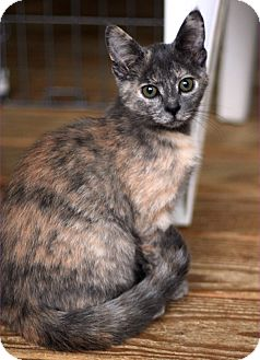 Domestic Shorthair Kitten for adoption in McCormick, South Carolina - Lacey