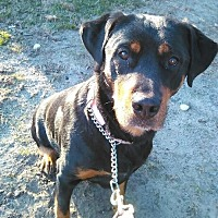 Rottweiler Dog for adoption in Holland, Michigan - Jenny
