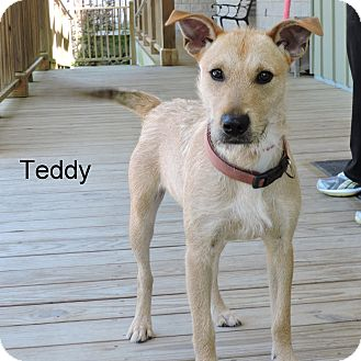 Wirehaired Fox Terrier Mix Dog for adoption in Slidell, Louisiana - Teddy