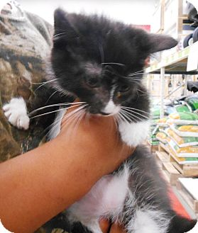 Domestic Shorthair Kitten for adoption in Parkton, North Carolina - Bond