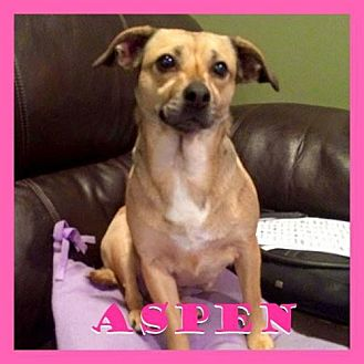 Chihuahua Mix Dog for adoption in Medford, New Jersey - Aspen