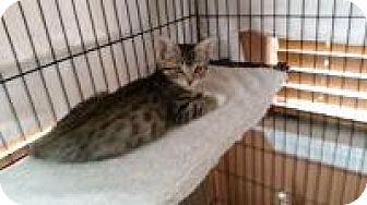 Egyptian Mau Cat for adoption in Medford, New Jersey - Julia  (Sonny's kittens)