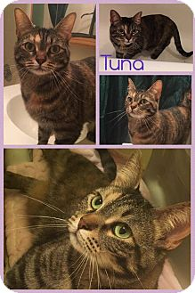 Domestic Shorthair Cat for adoption in Joliet, Illinois - Tuna