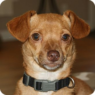 Chihuahua/Terrier (Unknown Type, Small) Mix Dog for adoption in Edmonton, Alberta - Sierra