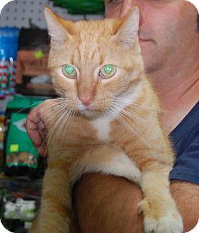 Domestic Shorthair Cat for adoption in Brooklyn, New York - FallHarvest
