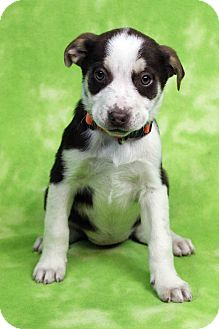 Retriever (Unknown Type) Mix Puppy for adoption in Westminster, Colorado - JENNI