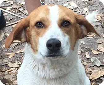 Beagle/Labrador Retriever Mix Dog for adoption in Orlando, Florida - Sweetie (Sparky)