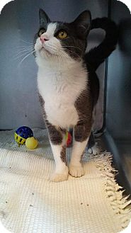 Domestic Shorthair Cat for adoption in South Haven, Michigan - Linguine