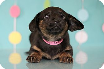 Labrador Retriever Mix Puppy for adoption in Waldorf, Maryland - Sriracha