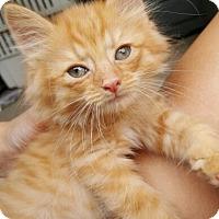 Adopt A Pet :: Oden - Reston, VA