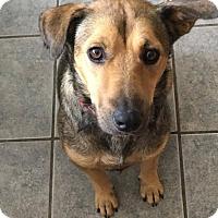 Adopt A Pet :: Arya - Plano, TX