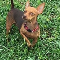 Adopt A Pet :: Angelina - Loxahatchee, FL