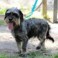 Adopt A Pet :: Cooper Cass - Spring, TX