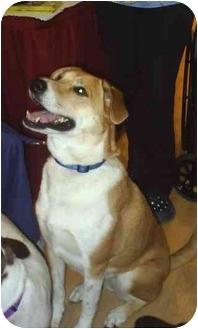 Golden Retriever/Hound (Unknown Type) Mix Dog for adoption in cedar grove, Indiana - Ginger