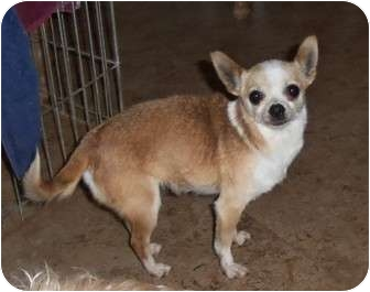Chihuahua Mix Dog for adoption in Salem, Oregon - Lollie