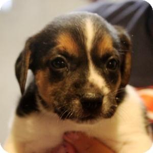 Beagle/Terrier (Unknown Type, Medium) Mix Puppy for adoption in Naperville, Illinois - Rosie